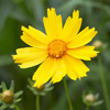 Coreopsis