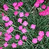 2006: 'Fire Witch' Dianthus
