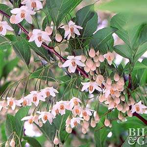 Japanese Snowbell Tree