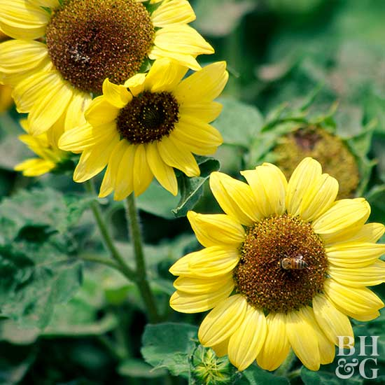 Growing Sunflowers that Delight and Amaze