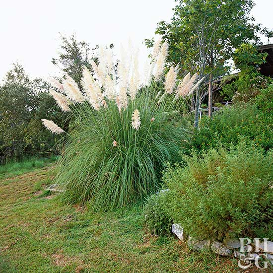 What Is The Best Way To Trim Overgrown Pampas Grass Better Homes