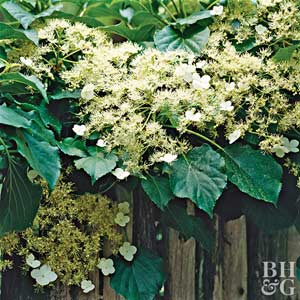 How Can I Get My Climbing Hydrangea to Bloom?