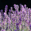 'Munstead' English Lavender