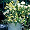 Design Idea: Layer Perennial Bulbs