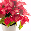 Simple Potted Poinsettias