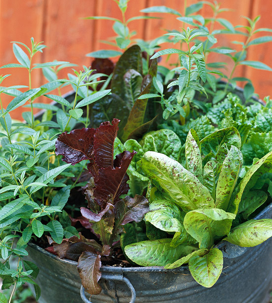 Growing lettuce for fantastic salads - How to store lettuce from garden ...