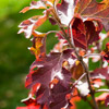 Fall Color on Oakleaf Hydrangeas