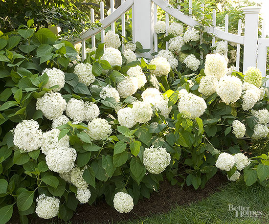 choose the best hydrangeas for your garden, Natural flower