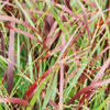 Switch from Turf to Native Grasses