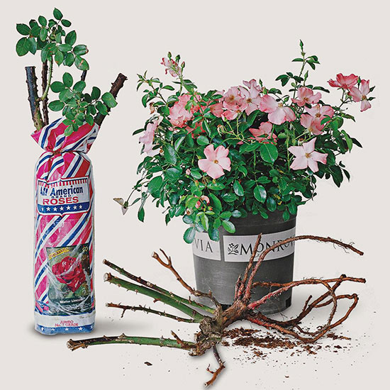 bareroot roses are available in early spring and are sold simply as a set of roots packed in peat moss or a similar material that holds moisture well - Mini Roses Care Indoor