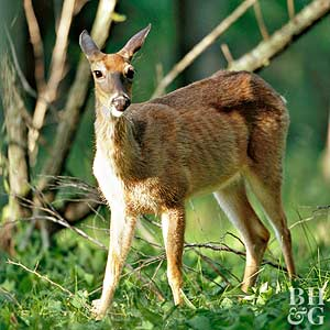 Tips for Deterring Deer