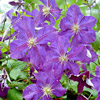 Climb New Heights with Clematis