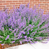 2007: 'Walker's Low' Catmint
