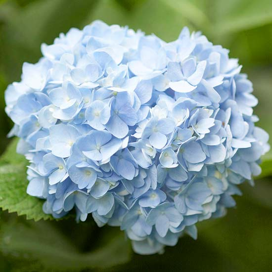 how to get more hydrangea flowers, Natural flower