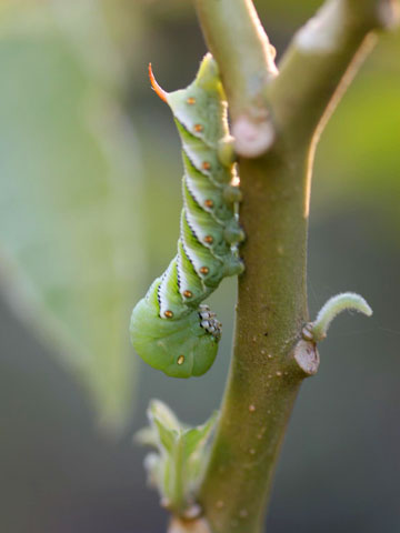 Stop Hornworms in Your Garden