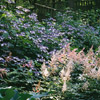1994: 'Sprite' Astilbe
