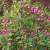 'Issai' Beautyberry