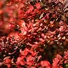 Shrubs Without Showy Blooms