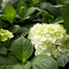 Endless Summer Blushing Bride Hydrangea