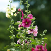 Hollyhock