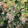 Glossy Abelia
