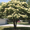 'Snow Dance' Tree Lilac