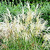Miscanthus