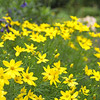 1992: 'Moonbeam' Coreopsis