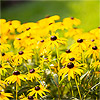 1999: 'Goldsturm' Black-Eyed Susan