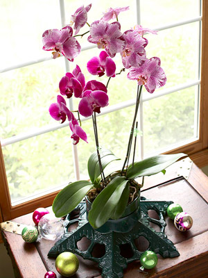 The single most important variable when growing orchids indoors is light. Orchids that prefer high light -- unobstructed sunlight streaming through a clear ... & How to Grow Orchids Indoors azcodes.com