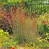 Little Bluestem 'The Blues'