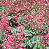 Coral Bells