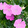 Perennial Geranium