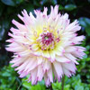 Out-of-this-World Dahlia