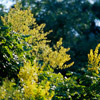 Golden-Rain Tree
