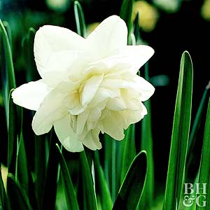 Daffodil, Double Hybrids