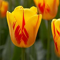 Top Perennial Tulips