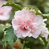 Sugar Tip Rose of Sharon