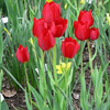 Tulip 'Red Bouquet'