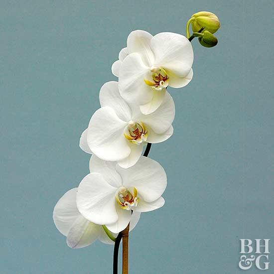 how to care for orchids, Natural flower