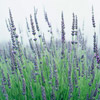 'Graves' English Lavender