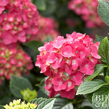Grow the Best Hydrangeas