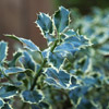 Variegated English Holly