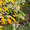 Fall Color on Hydrangea Paniculata