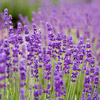 'Betty's Blue' English Lavender
