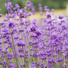 'Royal Purple' English Lavender