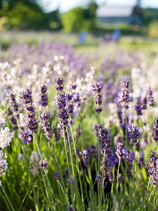 A Gardeners Guide to Lavender