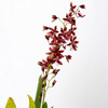 Oncidium Orchid