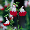 'Hot Lips' Salvia