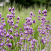 'Croxton's Wild' English Lavender